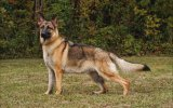 Top 10 Guard Dogs In The World