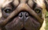 Köpekleri Tanıyın: Pug