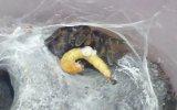 Tarantula Ceratogyrus Darlingi Feeding