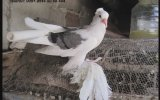 Ali Mum Güvercinleri ( Malatya )