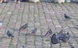 Güvercinler Hakkında Herşey