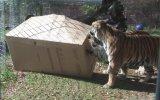 Vahşi Kedilerin Karton Kutu Eğlencesi