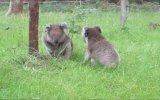 Şirin Koalaların Kavgası